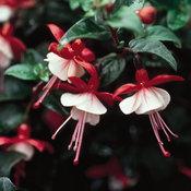 Shadow Dancers® Betty - Fuchsia hybrid