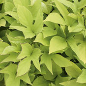 Proven Accents® 'Sweet Caroline Light Green' - Sweet Potato Vine - Ipomoea batatas