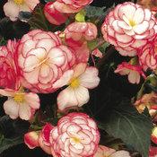 Nonstop® Rose Petticoat - Tuberous Begonia - Begonia x tuberhybrida