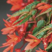 5620_46-begonia-orange.jpg