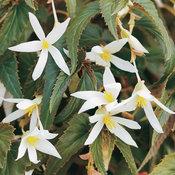 5620_47-begonia-white.jpg
