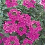 Superbena® Pink Shades - Verbena hybrid