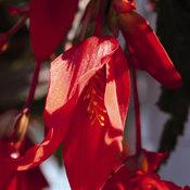 Santa Cruz® - Begonia boliviensis