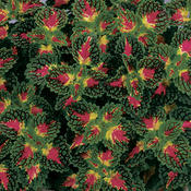 ColorBlaze® Strawberry Drop - Coleus - Solenostemon scutellarioides