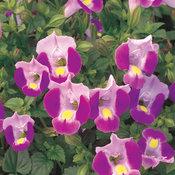 Catalina® Pink - Wishbone Flower - Torenia