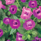 Summer Wave® Large Amethyst - Wishbone Flower - Torenia hybrid