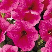 Supertunia® Trailing Strawberry Pink Veined - Petunia hybrid