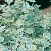 Proven Accents® Licorice Splash - Licorice Plant - Helichrysum petiolare