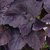 Black Prince - Coleus - Solenostemon scutellarioides