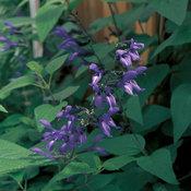Black & Blue - Salvia guaranitica