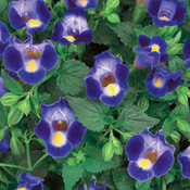Catalina® Midnight Blue - Wishbone Flower - Torenia hybrid