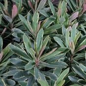 Helena's Blush - Wood Spurge - Euphorbia amygdaloides hybrid