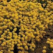Golden Flourish™ - Basket of Gold, Alyssum - Aurinia saxatile