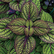 Fishnet Stockings - Coleus - Plectranthus scutellarioides