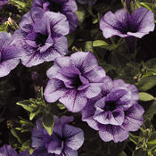 Supertunia® Priscilla® - Petunia hybrid