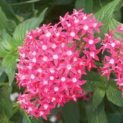 Butterfly Deep Rose - Pentas lanceolata