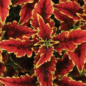 ColorBlaze® El Brighto - Coleus - Plectranthus scutellarioides