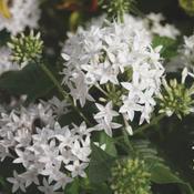 Butterfly White - Pentas lanceolata