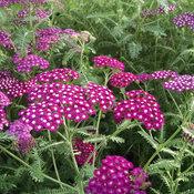 New Vintage™ Violet - Yarrow - Achillea millefolium
