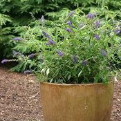 Adonis Blue Buddleia in deco pot