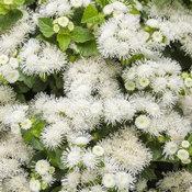Artist® Pearl - Flossflower - Ageratum hybrid