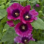 Halo Series-Cerise - Hollyhock - Alcea rosea