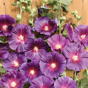 Halo Series- Lavender - Hollyhock - Alcea rosea