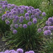 'Serendipity' - Ornamental Onion - Allium hybrid