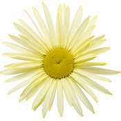 amazing_daisies_banana_cream_01.jpg