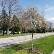 Spring Glory® - Serviceberry - Amelanchier canadensis