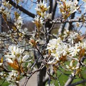 amelanchier-spring-glory-2.jpg