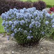 'Storm Cloud' Amsonia