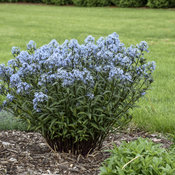 amsonia_storm_cloud_apj19_15.jpg