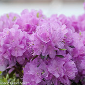 amy_cotta_rhododendron-3136.jpg