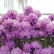amy_cotta_rhododendron-3145.jpg