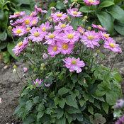anemone_curtain_call_pink.jpg
