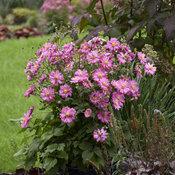 anemone_fall_in_love_sweetly_apj19_12.jpg