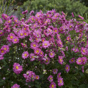 anemone_fall_in_love_sweetly_apj19_7.jpg