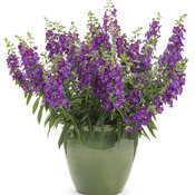 angelonia_angelface_blue_improved_mono.jpg