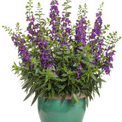 angelonia_angelface_super_blue.jpg