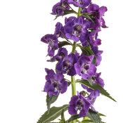 angelonia_angelface_super_blue_03.jpg