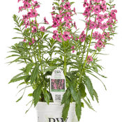Angelface® Super Pink - Summer Snapdragon - Angelonia
