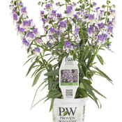 angelonia_angelface_wedgwood_blue_improved_grande.jpg