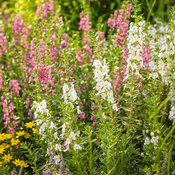 angelonia_garden_patch_46.jpg