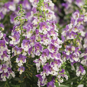 angelonia_wedgewood_blue_improved.jpg