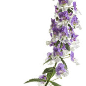 angelonia_wedgwood_blue_improved_01.jpg