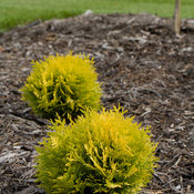 Anna's Magic Ball® - Arborvitae - Thuja occidentalis
