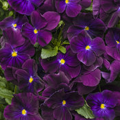 Anytime® Plum Good™ - Pansiola - Viola x wittrockiana