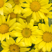 Golden Butterfly® - Marguerite Daisy - Argyranthemum frutescens