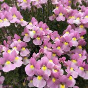 Aromance® Pink - Nemesia fruticans